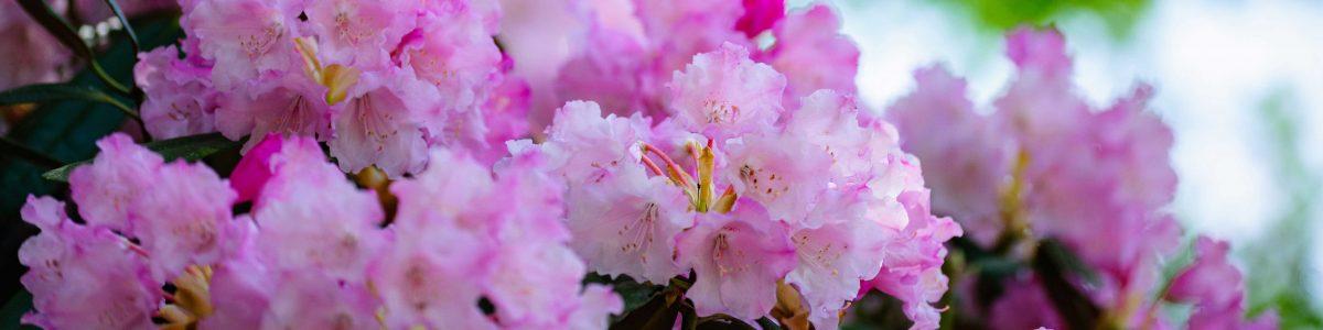 Flower  of  Tsukechi Gorge